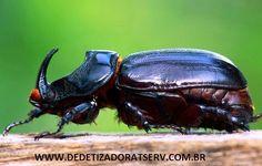 DEDETIZADORA TSERV FRANQUIA: BESOURO RINOCERONTE www.dedetizadoratserv.com.br