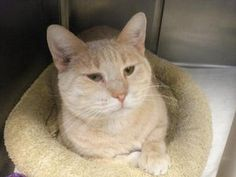 Simba is an adoptable Domestic Short Hair - Buff Cat in Baraboo, WI. Thank you for considering a companion animal from the Sauk County Humane Society located in Baraboo, Wisconsin. If you are interest...