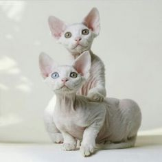 The Devon Rex Cat is a breed of intelligent, short-haired cat that emerged in England during the They are known for their slender bodies, wavy coat, and large ears. This breed of cat is capable of learning difficult tricks. I Love Cats, Crazy Cats, Cute Cats, Devon Rex Kittens, Cats And Kittens, Pretty Cats, Beautiful Cats, Sphynx Gato, Hairless Cats
