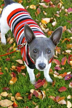 Ollie Blue, the rat terrier, poses for Sartorial Doggy Weekly. by amy rue.