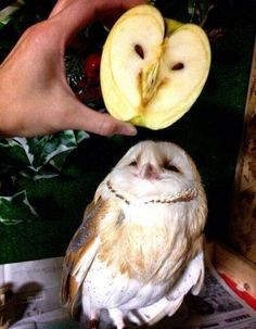 Apple Owl Photograph // Funny Exotic Fruits And Vegetables Photos Funny Animal Pictures, Cute Funny Animals, Funny Cute, Hilarious, Funny Pics, Random Pictures, Funny Stuff, Silly Pics, Owl Pictures