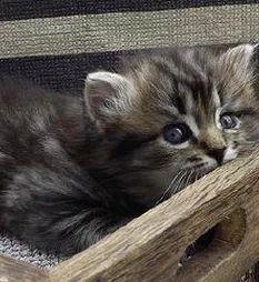 ragamuffin kittens breeders Ragamuffin Kittens, Cats, Animals, Gatos, Animales, Animaux, Animal, Cat, Animais