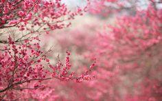 веточки, фокус, фон, ветки, розовый, цветение, Сакура