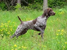 My dog Kaiser pointing a pheasant! He's amazing <3 German Shorthaired Pointer