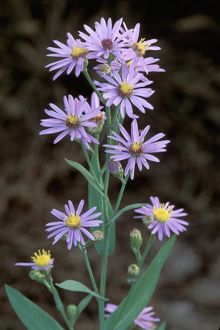 aster: known as a talisman of love and a symbol of patience Aster Flower, Flower Pots, Planting Bulbs, Planting Flowers, Flowering Plants, Blue Flowers, Wild Flowers, Birth Month Flowers, Plants