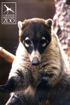 These raccoon- like creatures are actually called coatimundi.  They are native to southern United States deserts and South American rainforests.