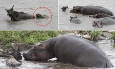 Hippos fight off crocodile attacking a gnu and escort the animal to safety