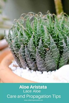 67 Types Of Succulents With Pictures Succulents In Containers, Container Plants, Cacti And Succulents, Planting Succulents, Succulents Wallpaper, Succulents Drawing, Flowering Succulents, Propagating Succulents, Cactus Names