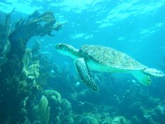 Diving Hol Chan Marine Reserves close to both Ambergris Caye and Caye Caulker.