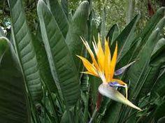 Resultado de imagem para aves-do-paraíso fotos