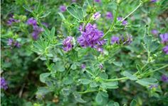 #Alfalfa is a perennial flowering plant  • Effective in relieving fluid retention and #swelling. • Nourishing the digestive, #skeletal, #glandular and #urinarysystem. • Helps in cleaning the blood, #liver and bowel, controlling diabetes • Treating urinary tract infections Read more:- http://falcon18.com/health-blog/Best-Ingredient-And-Herbs/To-Know-About-Alfalfa/Benefits-and-Advantages-of-Alfalfa.html Buy:- http://www.falcon18.com/about-Alfalfa-and-benefits-of-Alfalfa.ingredient?2773