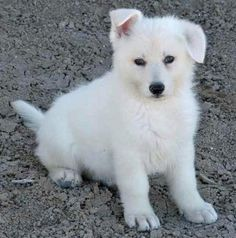 White German Shepherd Puppy. Next dog will be this one for sure!