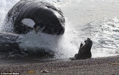 An orca chases a seal onto shore. The seal escaped, barely.