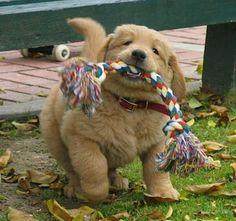 Golden Retriever Puppy- ohh my gosssshhh so freaking cute!