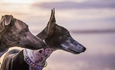 Greyhound and pharaoh hound, perhaps? Sighthounds!