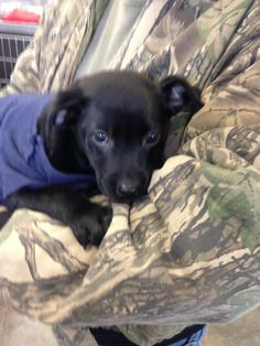 Meet Cole, a Petfinder adoptable Terrier Dog | Mountain View, AR | Cole is very loving, playful and loves people and other animals.  He thinks he is a big dog in a...