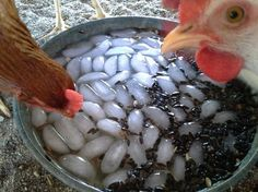 To encourage your chickens to drink in hot weather fill a dish with ice water & dump in black oil sunflower seeds.  They drink as they go for the seed.