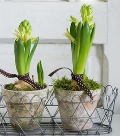 Absolutely love planting hyacinths like this and having them in my home.