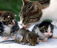 Cat with kittens also taking care of baby squirrel