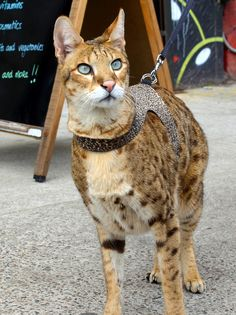 Savannah Cat - Savannah Cat - Ideas of Savannah Cat - Savannah Cat The post Savannah Cat appeared first on Cat Gig. Le Savannah, Ashera Cat, Spotted Cat, Small Cat, Cat Breeds, Big Cats, Animals And Pets, Pet Dogs, Funny Cats