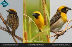 Seputar Burung Manyar Ciri-Ciri, Harga dan Suara Kicauannya
