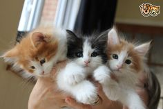 Beautiful norwegian forest kittens.