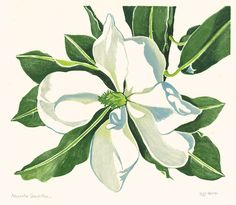 Magnolia Grandiflora by William Seltzer Rice
