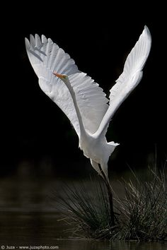 Great White Egret in flight by JuzaPhoto.com