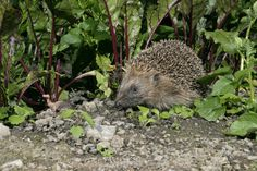 The health of the UK's hedgehogs is the key concern for a survey launched amid concerns that the spiny mammals are facing a serious decline in the UK. Guinea Pig Toys, Guinea Pigs, Homemade Cat Toys, Pygmy Hedgehog, Virtual Pet, Hedgehogs, Exotic Pets, Pet Toys, Hanging Out