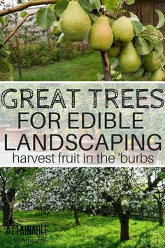 An edible landscape is great for city gardeners. Fruit trees that double as shad… An edible landscape is great for city gardeners. Fruit trees that double as shade trees or focal points in a garden are double the fun. Urban homestead, anyone? Garden Shrubs, Shade Garden, Garden Landscaping, Landscaping Software, Garden Beds, Landscaping Borders, Shade Landscaping, Tree Garden, Landscape Edging