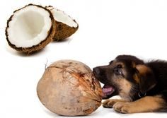 Ways to use coconut oil for your dog or cat, from clearing ear infections to helping with digestion issues.