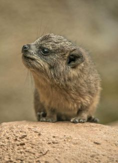 Baby Rock Hyrax at the Chester Zoo, United Kingdom. Rock Hyraxes may be short in stature but these tiny animals have a surprising genetic link: they are more closely related to Elephants than any other species on Earth. Scientists posit that Hyraxes and Elephants evolved from a single common ancestor.