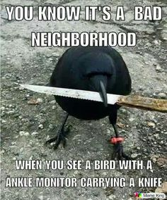 you know it's a bad neighborhood when you see a bird with a ankle monitor bracelet band banded carrying a knife