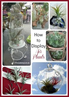 Air plants need no soil to grow. See these creative ideas for displaying this pretty plant.