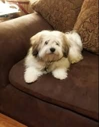 Pin On Puppy Cuts For Havanese