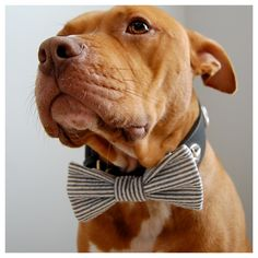 adorable wedding attire accessories for the little ones in the wedding dogs bow tie seersucker