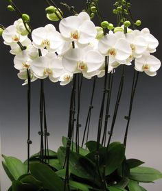 White Phalaenopsis Orchids - The use of white phalaenopsis orchids by florists in Southern California as a cut flower became very popular after they were introduced by Steve Peralta to flower markets in Southern California.  White phalaenopsis orchids are not grown for the cut flower market like many other orchid flowers..