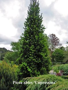 """Cupressina Columnar Norway Spruces Specifications 