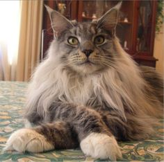 Maine coon.. my fav cat and you can see my cats Calvin and Hobbes are maine coon just by comparing this pic