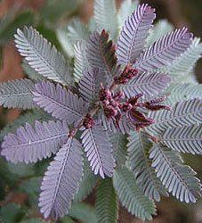 Acacia baileyana 'Purpurea' PURPLE COOTAMUNDRA WATTLE, Rare Color Form ~SEEDS~