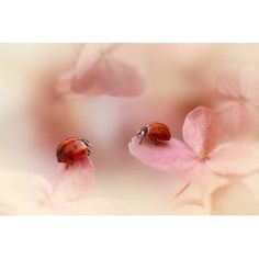 """My Art Outlet 'Ladybirds on pink hydrangea' Graphic Art Print on Wrapped Canvas Size: 24"""" H x 36"""" W x 1.5"""" D"""