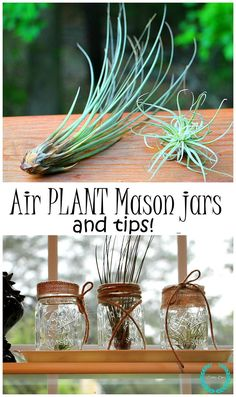 Air plant mason jars and tips and tricks on how to grow them.