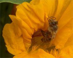 Bee on nasturtian Allotment, Bedding, Bee, Gardening, Plants, Garten, Bees, Lawn And Garden