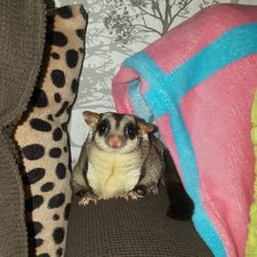 Would you like to know what a sugar glider is eating? Find interesting facts about feeding sugar gliders and taking best care of them. Sugar Bears, Human Babies, Sugar Gliders, My Little Baby, Guinea Pigs, Pet Care, Mammals, Fun Facts, Small Animals