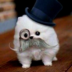 Sir Fluffy, Couldn't decide if this was ridiculously cute or amusing...but it made me laugh out loud so it went to the amused board:)