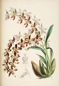 A monograph of Odontoglossum by James Bateman.. London : L. Reeve & co., 1874.. biodiversitylibrary.org/page/270209