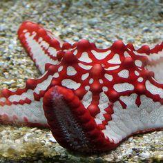 Vermelho e branco da estrela de mar  Red & white sea star