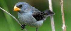F.G. Saraiva: Já nasce em extinção nova ave descoberta no Brasil...