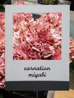 カーネーション (ミヤビ) #flower  #shop #matilda #中目黒