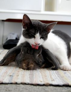 Kitty cleans bunny. Just proves the animal world has no problem helping or showing affection to something that doesn't look like them. It would be nice if the human race could learn from them !